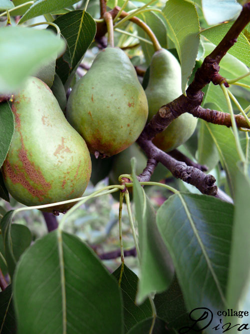 5-pears