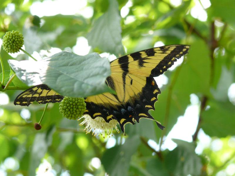 1-butterfly