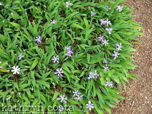 5-irises