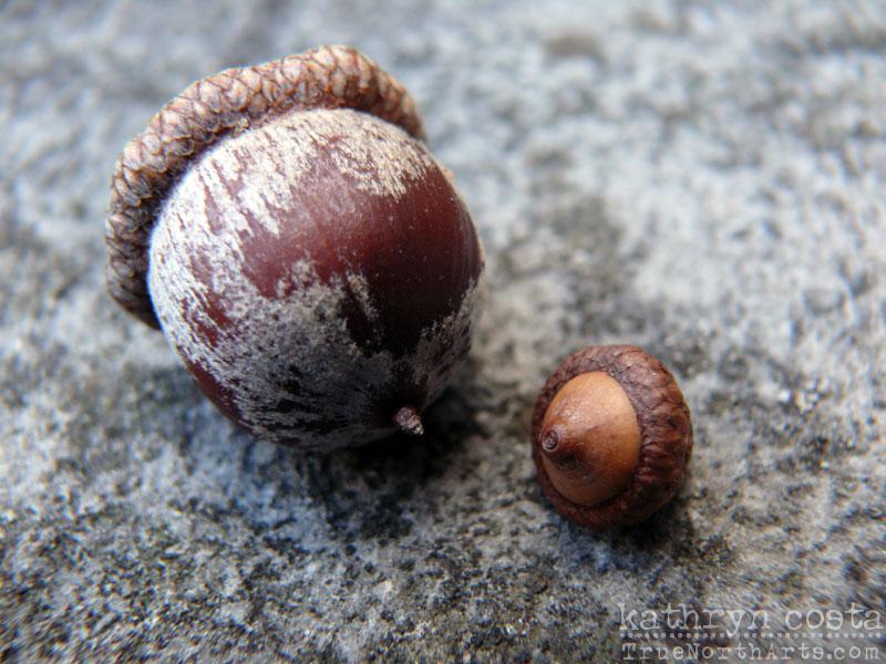 12-acorns