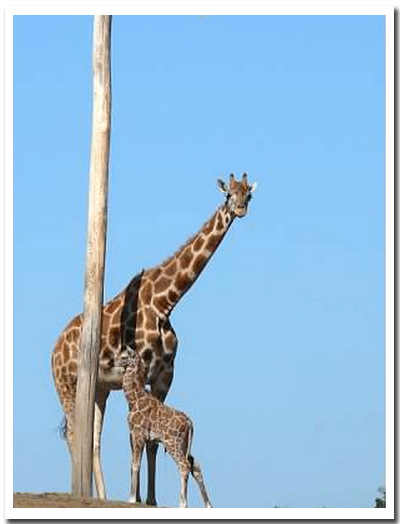 10-giraffe-encounter2007