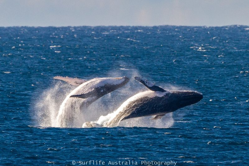 Whale-doublebreech