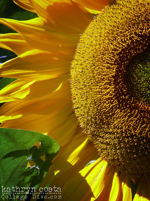 13-Camden-Sunflower